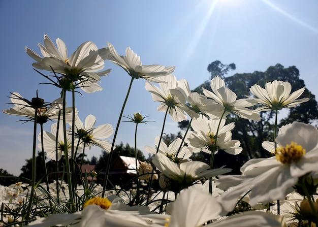 Champ de fleurs de cosmos sulphureus blanc sur le soleil qui brille dans le fond de ciel bleu