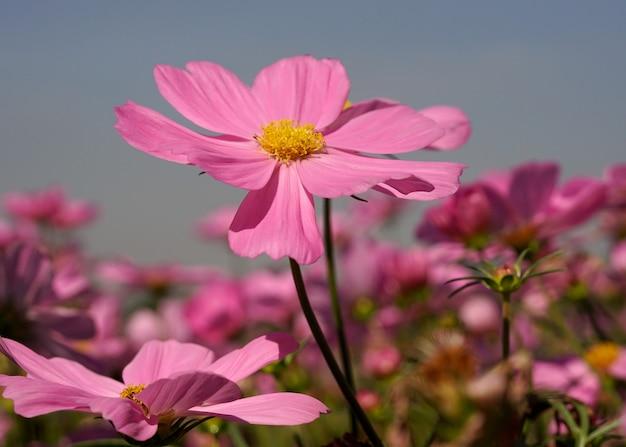 Champ de fleurs de cosmos sulphureus violet clair sur fond de ciel bleu