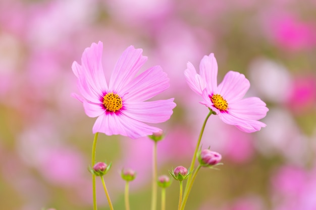 Champ de fleurs cosmos
