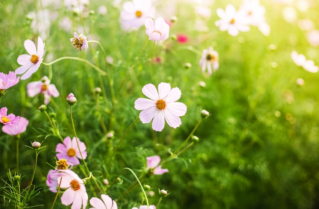 Champ de fleurs d'été rose et blanc dans la chaude lumière du soleil