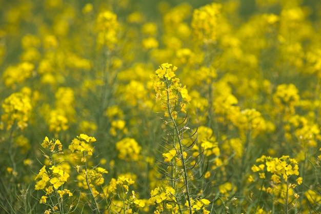 Champ de fleurs jaune moutarde