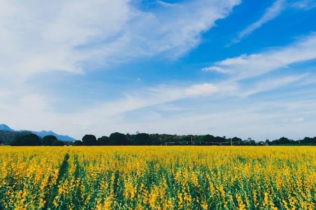 Champ de fleurs jaunes connu sous le nom de chanvre sunn avec fond de ciel bleu