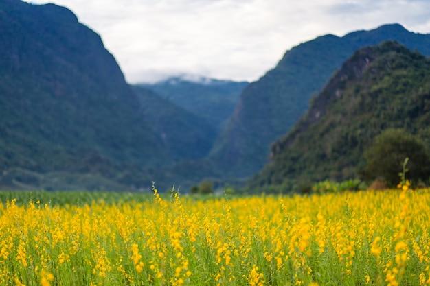 Champ de fleurs jaunes connu sous le nom de chanvre sunn et fond de montagne.