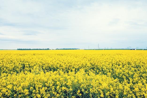 Champ de fleurs jaunes