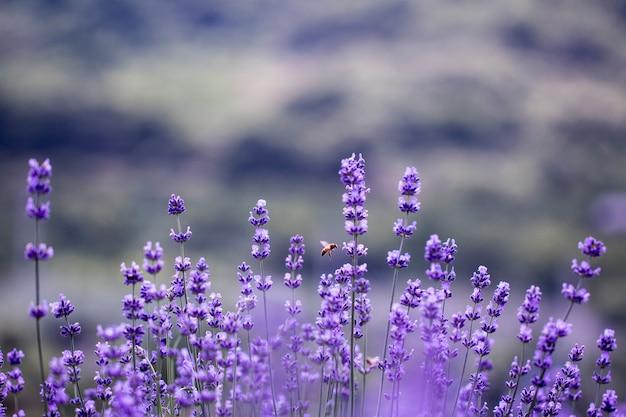 Champ de fleurs de lavande