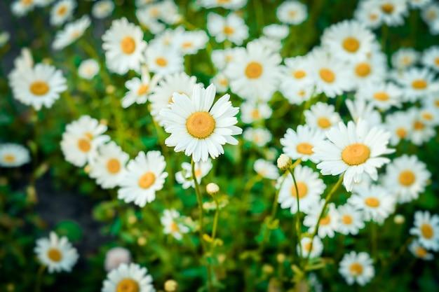 Champ de fleurs de marguerites en été et au printemps