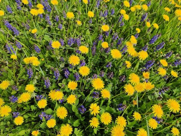 Un champ de fleurs de pissenlits
