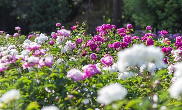 Champ de fleurs de pivoines roses