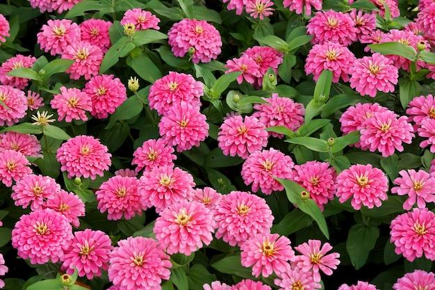 Champ de fleurs rose zinnia legans dans le jardin