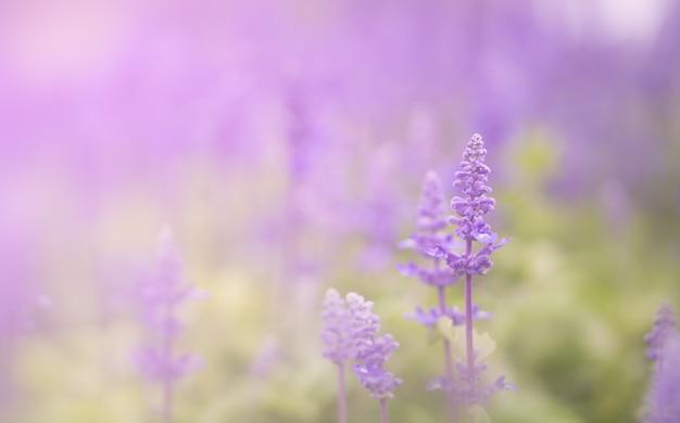 Champ de fleurs de salvia violette fraîche dans le jardin
