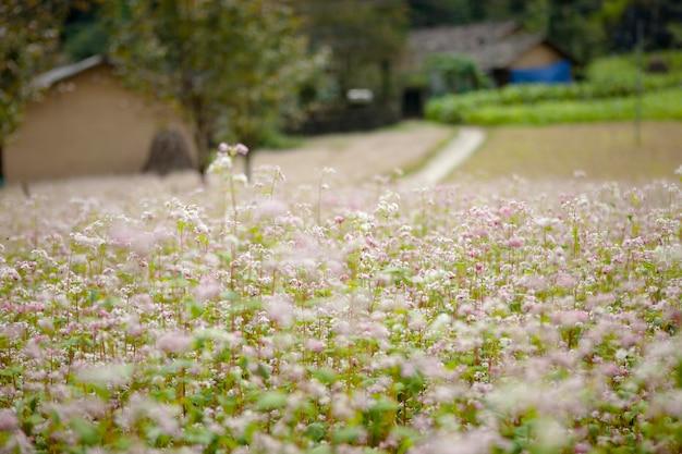 Champ de fleurs de sarrasin à ha giang, viet nam. ha giang est célèbre pour le parc géologique mondial du plateau de dong van karst.