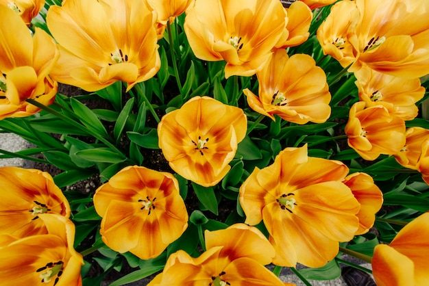 Champ de fleurs avec des tulipes colorées.