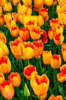 Champ de fleurs de tulipes