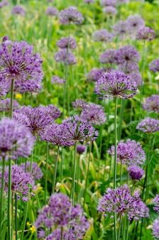 Champ de fleurs violet allium lucy ball