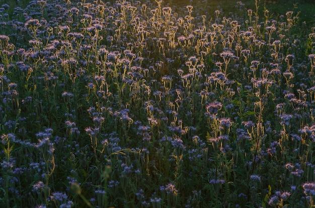 Champ de fleurs violettes au coucher du soleil