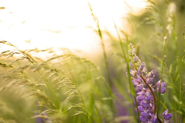 Champ flou de lupins violets dans les rayons du coucher du soleil. arrière-plan, mise au point sélective.