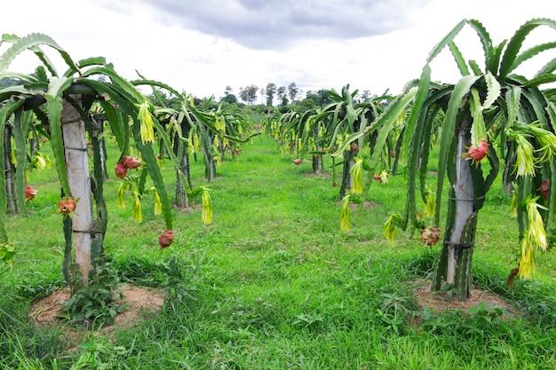 Champ de fruit du dragon ou paysage de champ de pitahaya, un pitaya ou pitahaya est le fruit de plusieurs espèces de cactus indigènes des amériques.