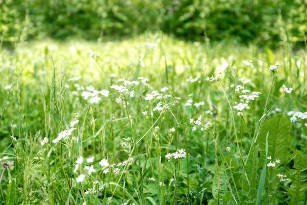 Champ d'herbe d'été vert avec fond naturel de fleurs blanches