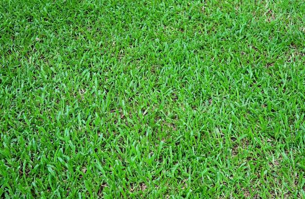 Champ d'herbe naturelle verte