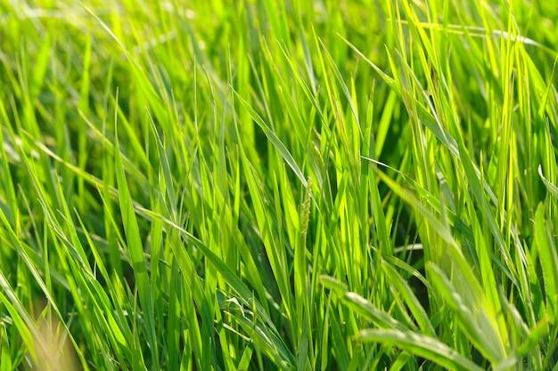 Champ d'herbe de printemps