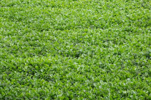 Champ de jacinthe d'eau