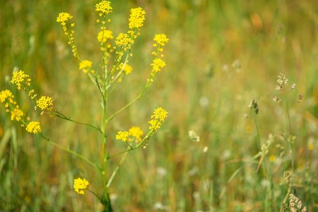 Champ de jaune dans le jardin avec fond vert flou