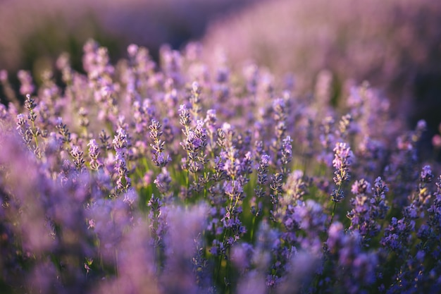 Le champ de lavande au coucher du soleil