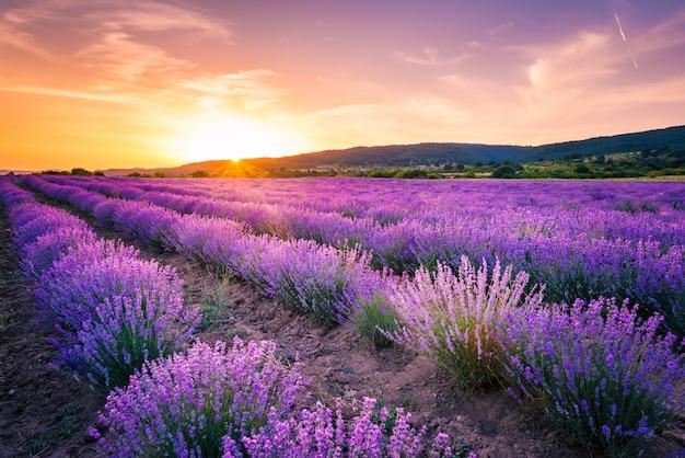 Champ de lavande en fleurs sous les couleurs rouges du coucher du soleil d'été