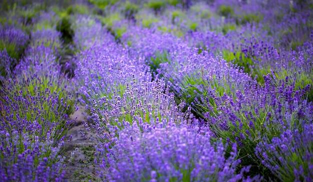 Champ de lavande, jeunes pousses saines fleurissent en bleu vif ou violet, vue drone