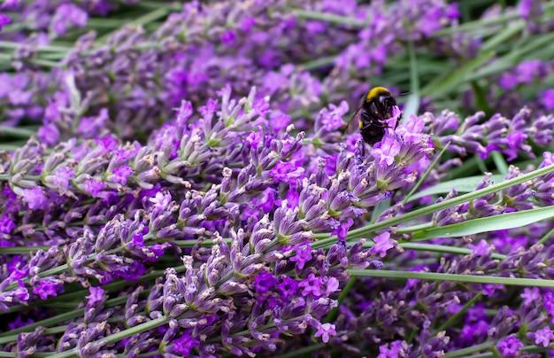 Champ de lavande pourpre en fleurs pendant la floraison des abeilles sur une fleur de lavande