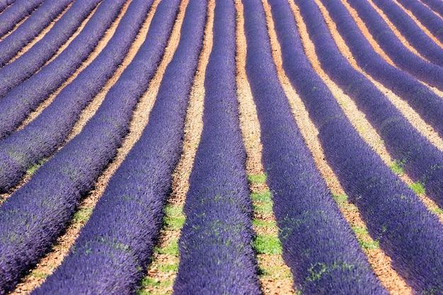 Champ de lavandes en fleurs en provence en été