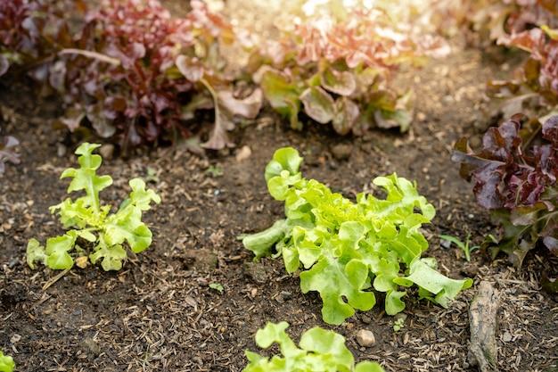 Champ de légumes à la maison ou fond de chêne vert