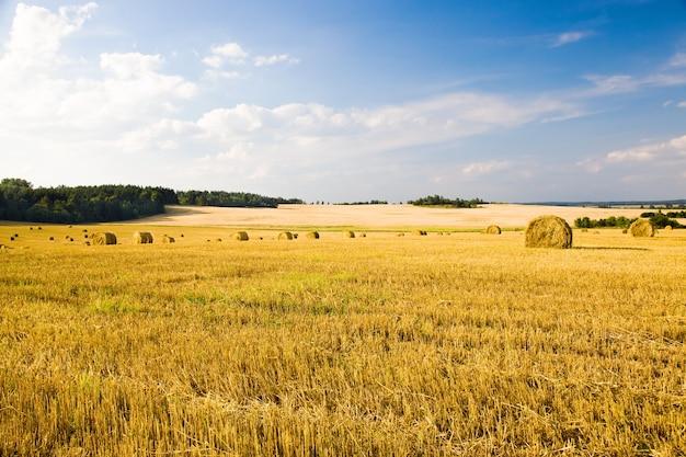 Champ, sur lequel poussent des céréales pendant la récolte de l'entreprise