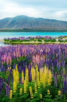 Champ de lupin du lac tekapo en nouvelle-zélande