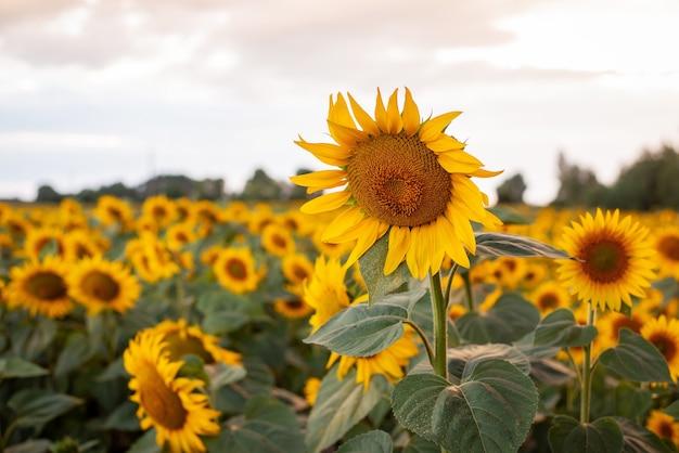 Champ de magnifiques tournesols jaunes sous le ciel avec des nuages blancs