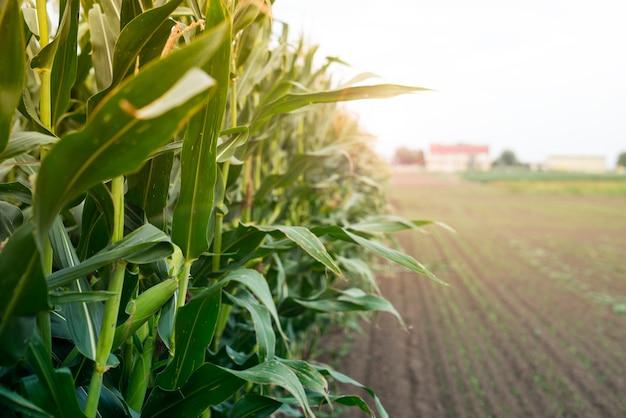 Champ de maïs au coucher du soleil