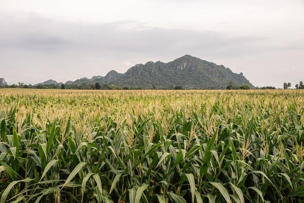 Champ de maïs biologique au champ de l'agriculture. beau champ vert avant la récolte.