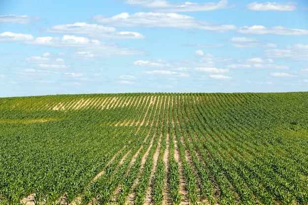 Champ de maïs - un champ agricole, qui cultive de jeunes maïs verts. maïs immature