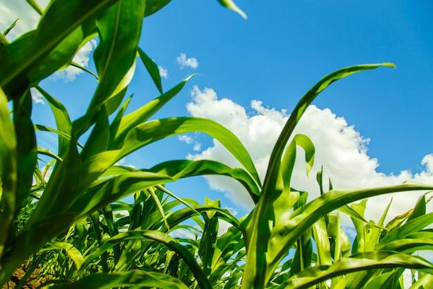 Champ de maïs sur un ciel nuageux