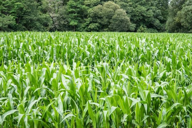 Champ de maïs en croissance et arbres