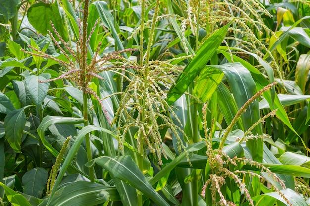 Champ de maïs en fleurs. journée ensoleillée d'été