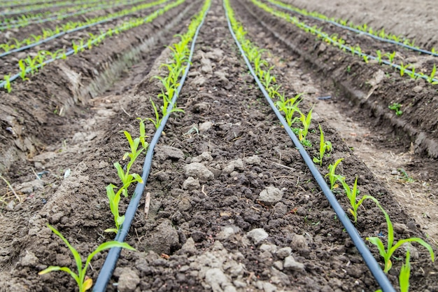 Champ de maïs avec irrigation goutte à goutte