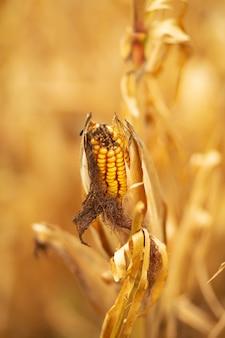 Champ de maïs. maïs jaune sec et mûr, temps de récolte. saison du maïs