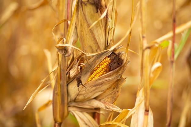 Champ de maïs. maïs jaune sec et mûr