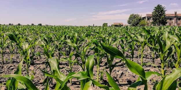 Champ de maïs pendant la saison de croissance par une journée ensoleillée