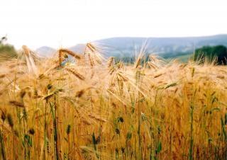 Champ de maïs près de knayton