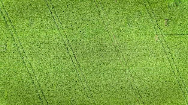 Champ de maïs. vue aérienne, cultures de maïs cultivées.