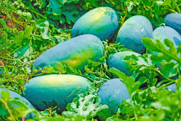 Champ de melon d'eau indien