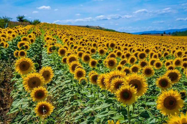 Champ de milliers de tournesols en été ouvert en regardant le soleil