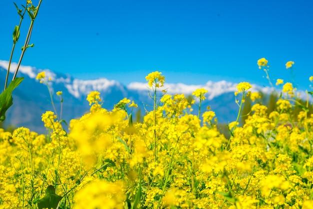 Champ de moutarde aux magnifiques paysages enneigés pays kashmir, inde